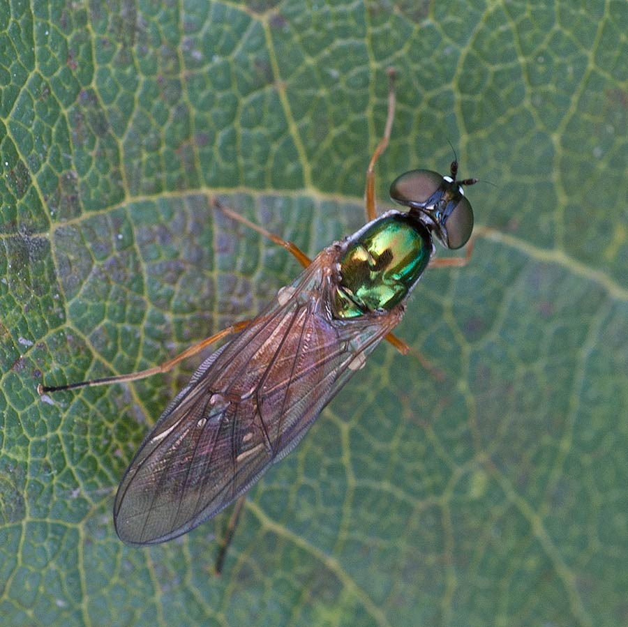 Stratiomyidae : Sargus bipunctatus