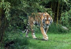 Straubinger Tiger