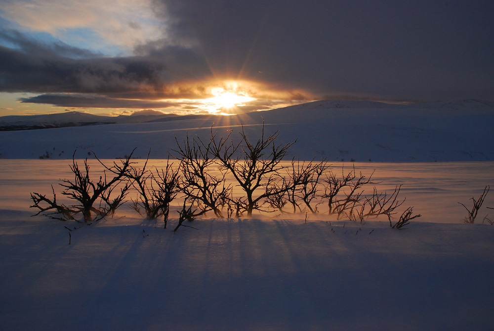 Strauch im Rondane Nationalpark