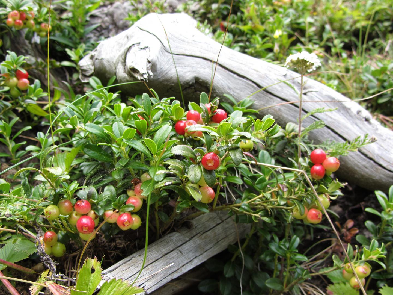 Strauch mit Beeren