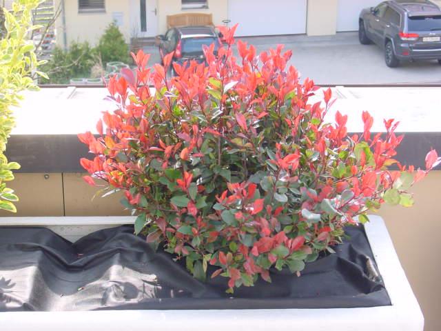 strauch mit rot gr nen bl ttern foto bild pflanzen pilze flechten str ucher red robin. Black Bedroom Furniture Sets. Home Design Ideas