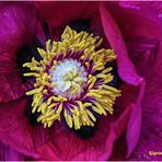strauch-pfingstrose (paeonia ×suffruticosa) ....