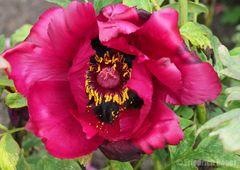 Strauchpäonien-Blüte