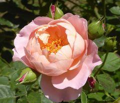 Strauchrosenblüte 'Belle Story' (GB)