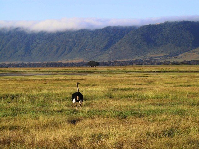 Strauß im Ngorongoro Crater