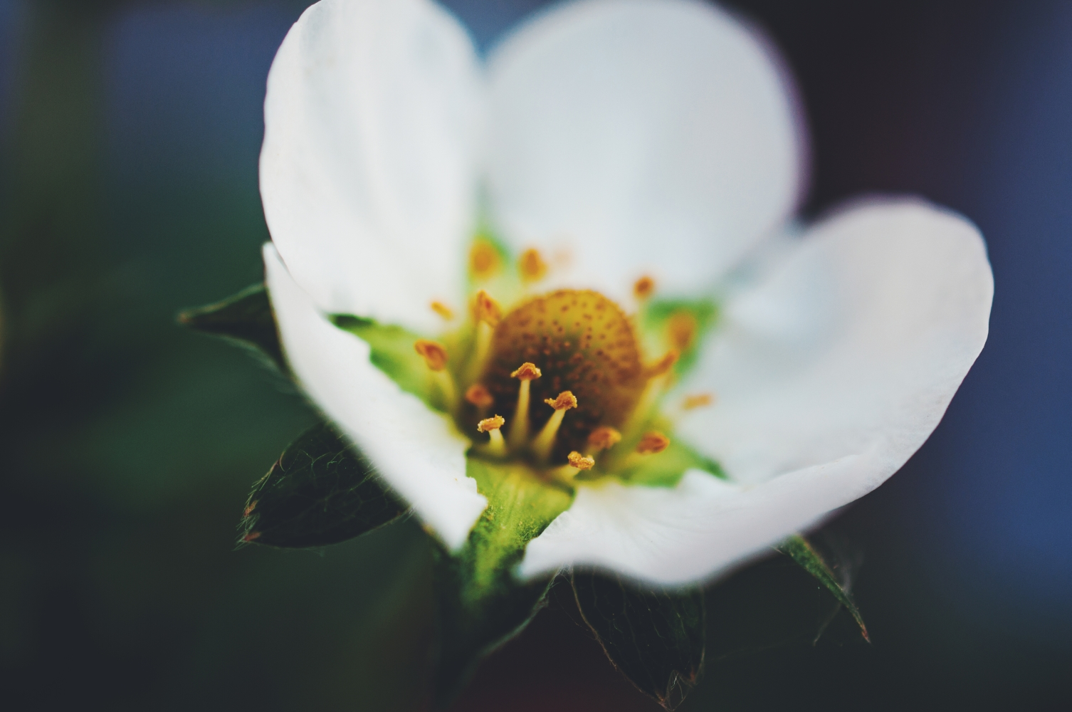 Strawberry Blossom