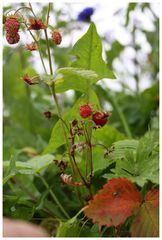 Strawberry Fields Forever...