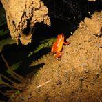Strawberry Poison-Dart Frog (Oophaga pumilio)