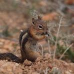 Streifen-Backenhörnchen bei der Mahlzeit