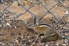 Streifenbackenhörnchen