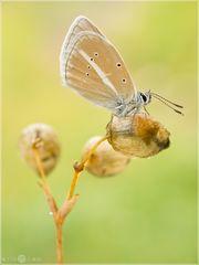 Streifenbläuling - Polyommatus damon