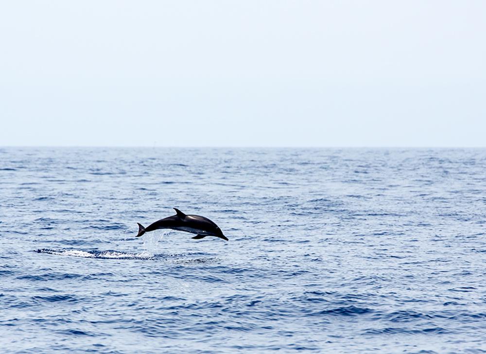 Streifendelfin