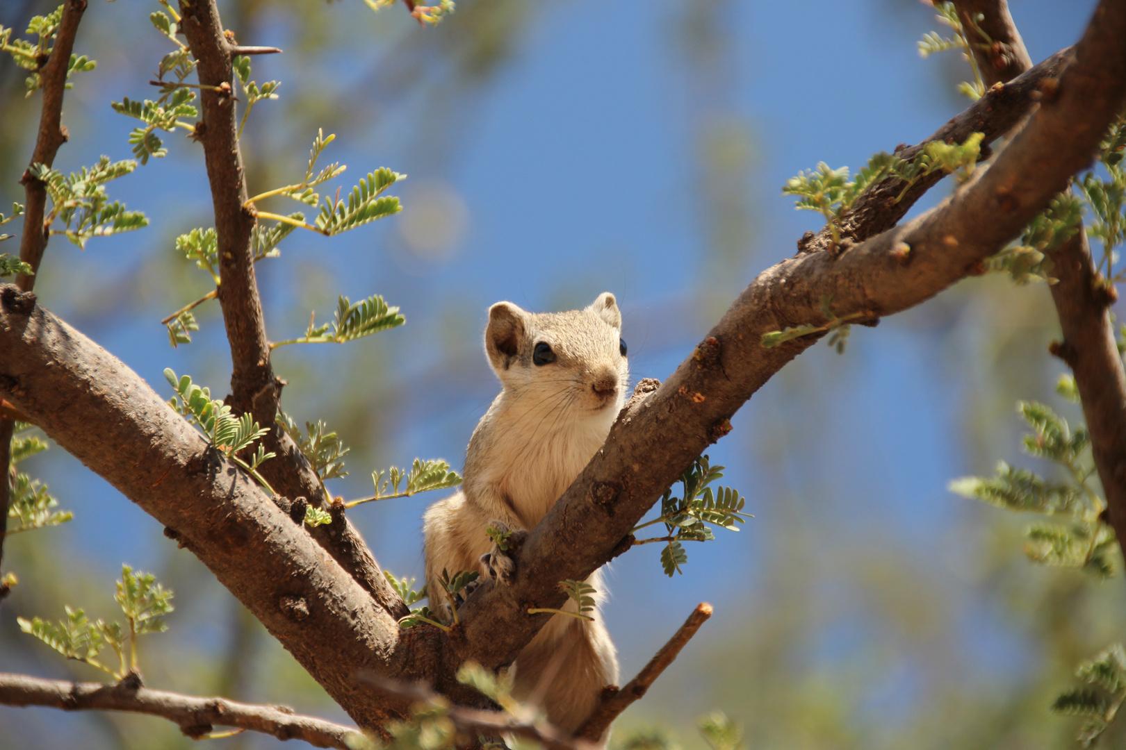 Streifenhörnchen in Pushkar...