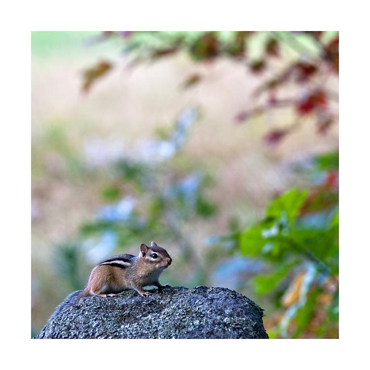Streifenhörnchen - Indian Summer #04