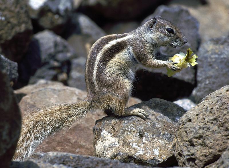 Streifenhörnchen - Squirrel