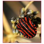 Streifenwanze - Graphosoma lineatum