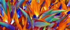 Strelitzie - power of color ©