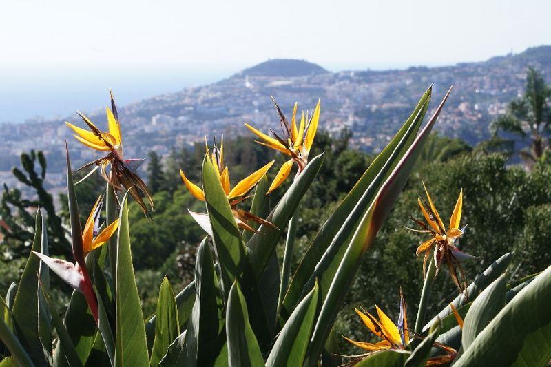 Strelitzien im Botanischen Garten von Funchal