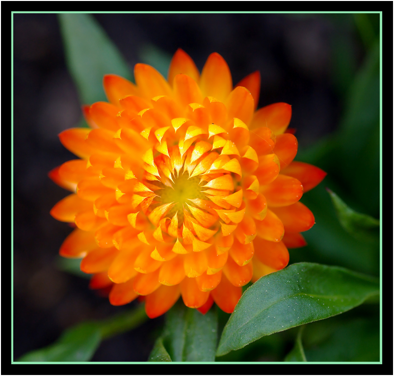 Strohblume das Original