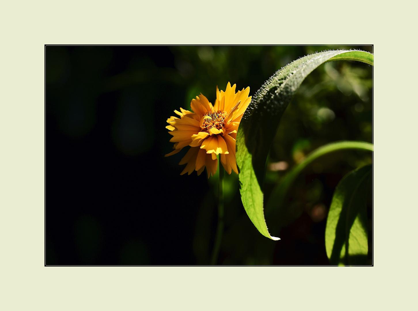 Strohblume im Halbschatten