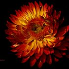 Strohblume im Spotlight