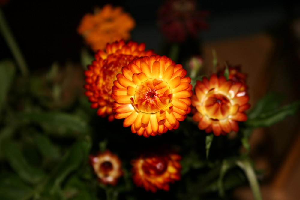 Strohblume im Wohnzimmer