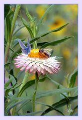 Strohblume mit Besucher