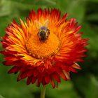 Strohblume mit Biene