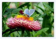 Strohblume und ein blauer Schmetterling