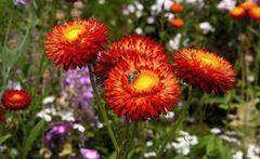 Strohblumen mit Biene