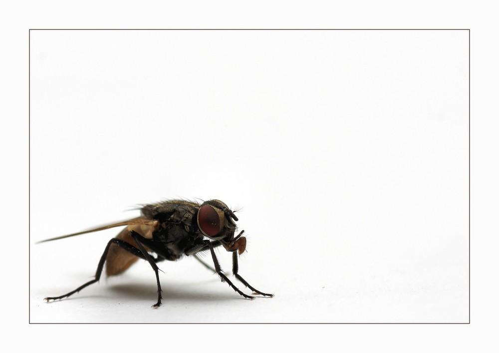 Stubenfliegenmodel