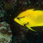 Stülpmaul Lippfisch