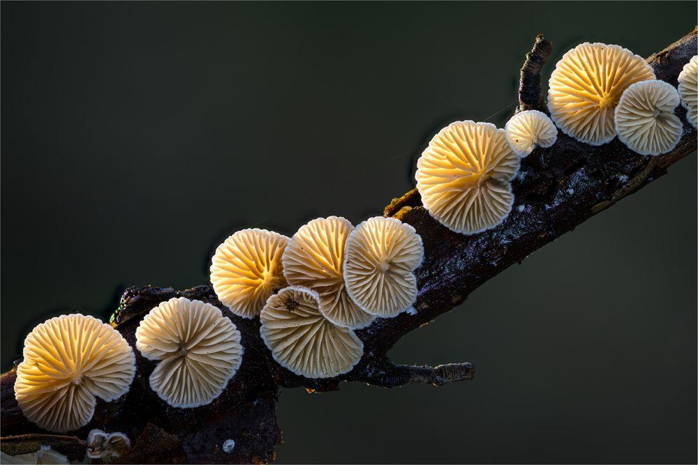 Stummelfüßchen (I)