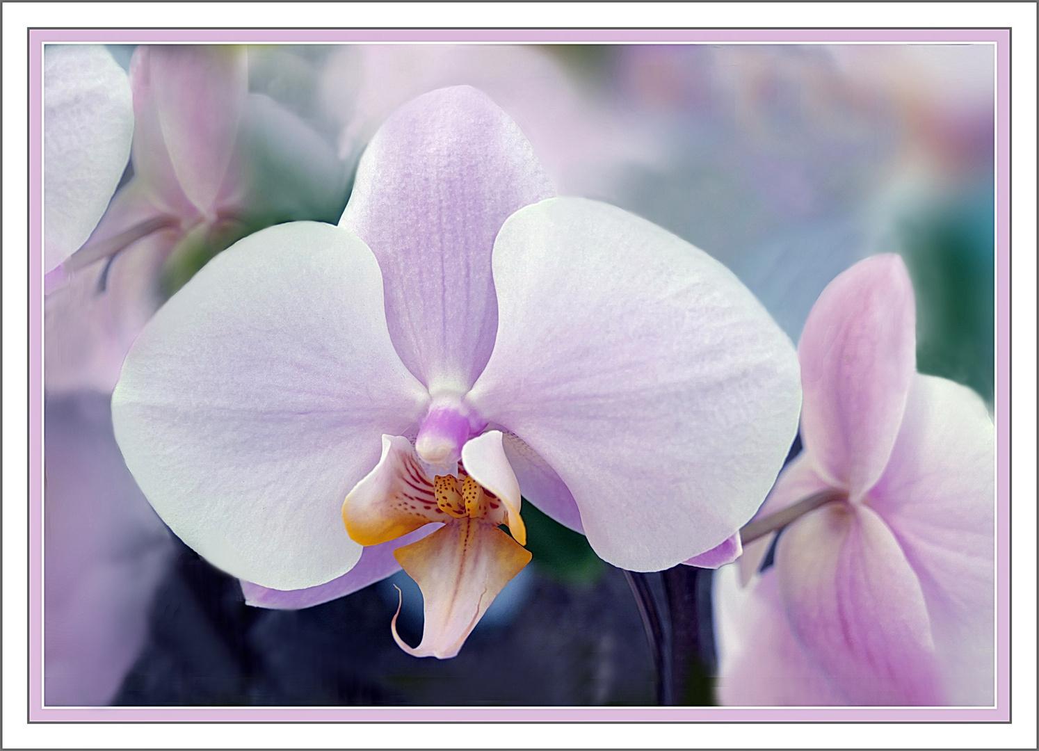 Suave Armonie  de una orquidea