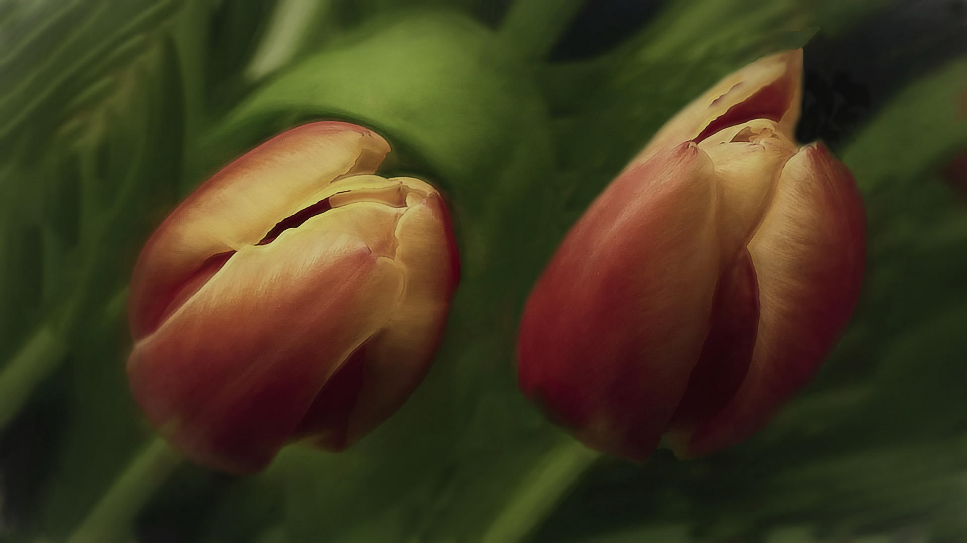 Suave  tulipanes