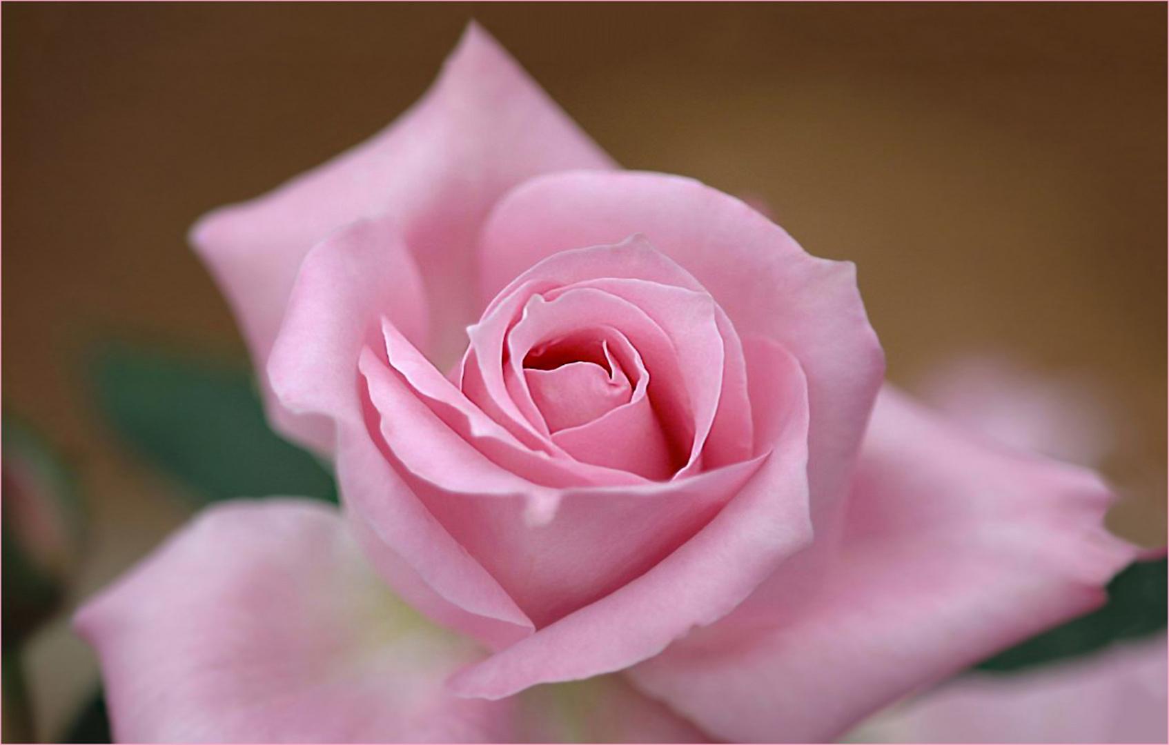Suavidad de una rosa
