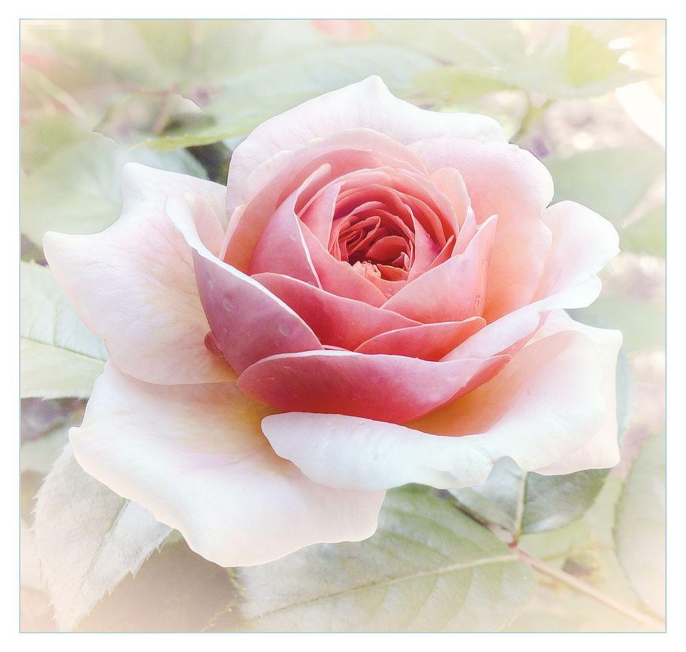 Suavidad  en una rosa