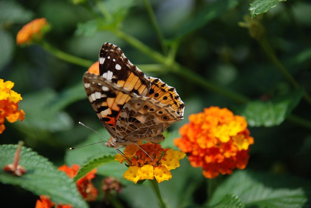 Suchender Schmetterling