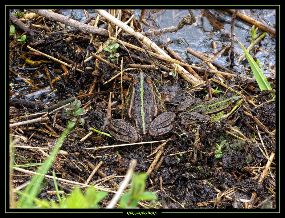 Suchspiel Frog