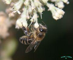 Suckling bee 004096 (cut)(Sh+)