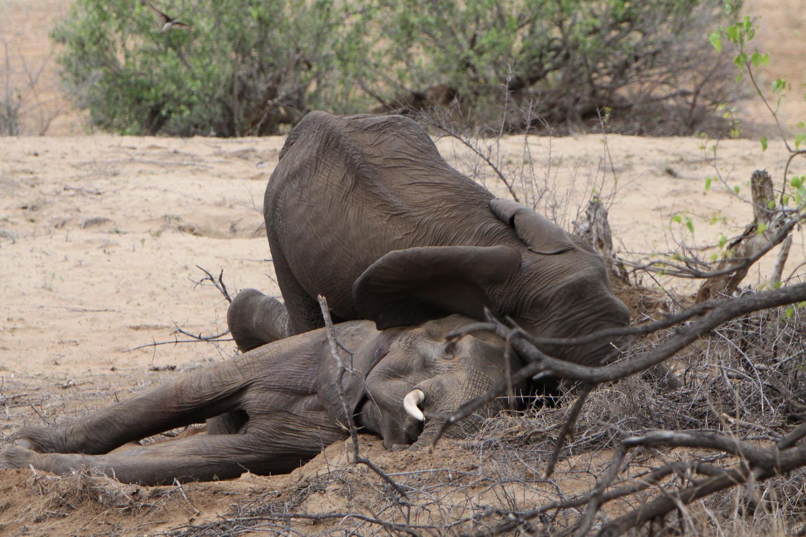 Südafrika/Krüger Nationalpark: Ein Elefant stirbt ...