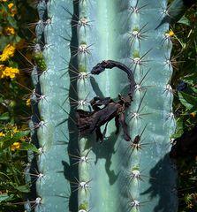 südkretischer kakteenskorpion