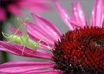 Südliche Eichenschrecke