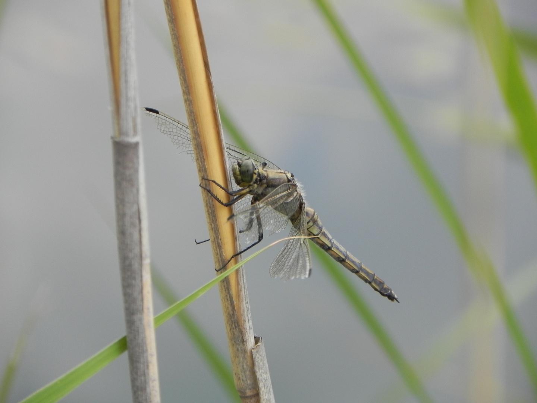 Südlicher Blaupfeil - Weibchen