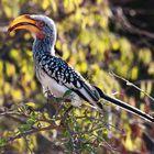 Südlicher Gelbschnabeltoko im Krüger Nationalpark