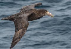 Südlicher Riesensturmvogel  .DSC_7697-2