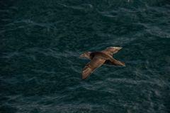 Südlicher Riesensturmvogel (Macronectes giganteus)
