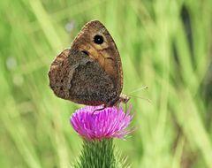 Südlicher Waldportier (Satyrus ferula) - La Grande Coronide.