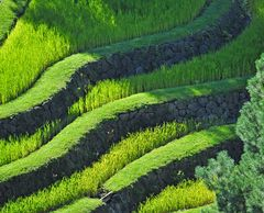 Südtiroler Reisterrassen