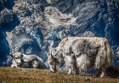 Südtiroler Yaks